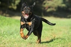 Rottweiler Jumping On People
