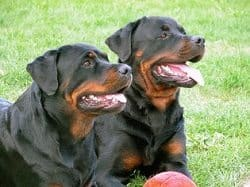 Rottweiler Training Guide - How To Train A Rottweiler