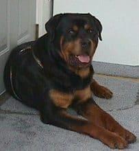 Rottweiler Waiting In Front Of The Door