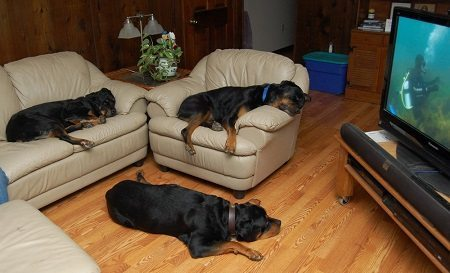 Rottweilers On The Furniture
