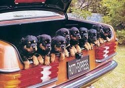 Rotties In The Car
