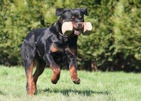 Rottweiler Exercising